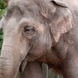 Elephant Female Closeup — Stock Photo #2913418