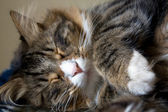 Closeup Of A Cat Sleeping — Stock Photo