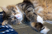 Kitty Sleeping — Stock Photo