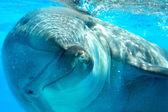 Dolfijn aan koordje-extreme close-up — Stockfoto