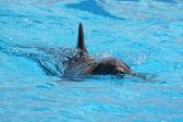 Delfines nadando en el agua azul — Foto de Stock