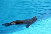 Sjölejon simning — Stockfoto