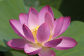 Lotus in blossom with green leaves — Stock Photo
