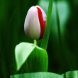 Stock Photo: Tulip in bud