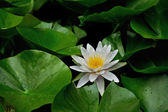 White water lily and leaves — Stock Photo