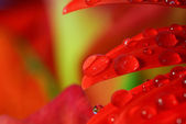 Raindrops on a red flower leaf — Stock Photo