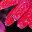 Stock Photo: Red daisy petals covered by morning dew