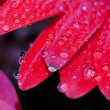 图库照片: Red daisy petals covered by morning dew
