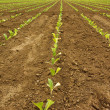 Stock Photo: Tobacco rows