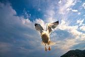 Seagull flying over blue sky — Stock Photo