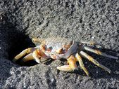 Beach crab — Stock fotografie