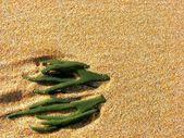 Zielona alga w piasku — Zdjęcie stockowe