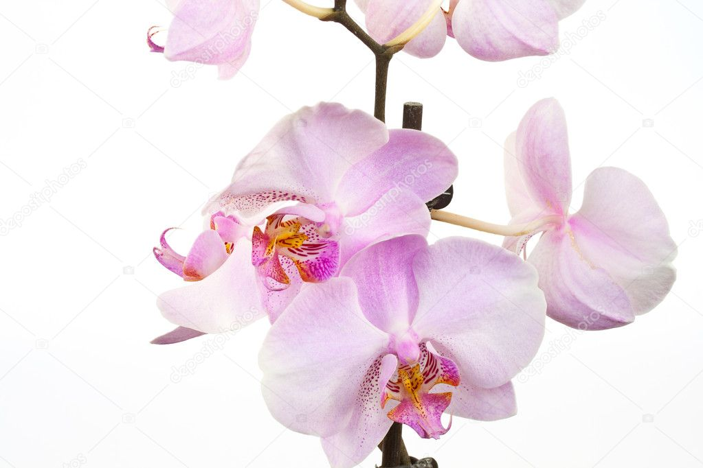 Phalaenopsis orchid is beautiful on a white background — Stock Photo #2850034