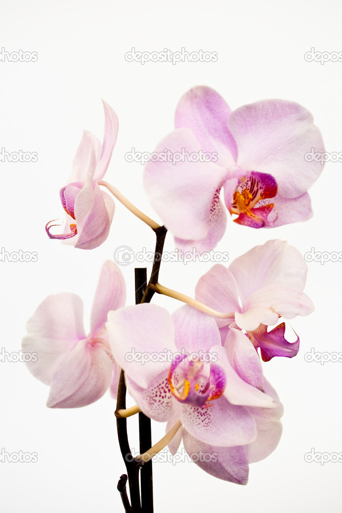 Phalaenopsis orchid is beautiful on a white background — Stock Photo #2850070