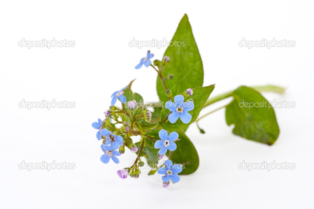 Bouquet of blue spring flowers on a white background — Stock Photo #2951151