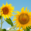 Sunflower — Stock Photo #3558284