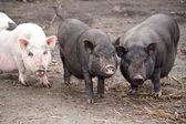Pigs — Stock Photo
