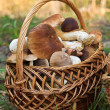 Basket with porcini mushrooms - Stock Photo