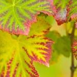 Vine leaves — Stock Photo