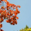 Manitopa maple — Stock Photo #3081691