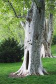 Sycamore tree — Stock Photo