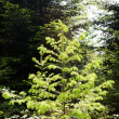 Stock Photo: Young conifer