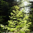 Young conifer — Stock Photo