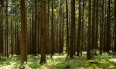Fir forest — Stock Photo