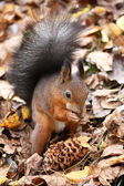 Fiber, a rodent, a nut, a cedar, foliage, autumn, a tail, moustaches, a nose, yellow, red. — Stock Photo