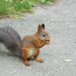 Squirrel (Sciurus vulgaris) — Stock Photo