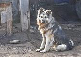 собака охранник — Стоковое фото