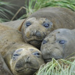 Foto Stock: Elephant seals