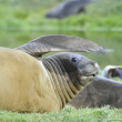 Stock Photo: Elephant seal
