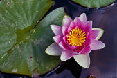 Water Lily in a pond — Stock Photo