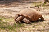Large Tortoise Eating — Stock Photo