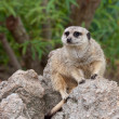 Meerkats On Guard — Stock Photo