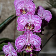 Stock Photo: Violet orchid