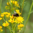 Bumble-bee on flowers — Stock Photo #2839118