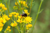 Bumble-bee on the flowers — Stock Photo