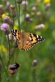 Farfalla sui fiori nell'erba — Foto Stock