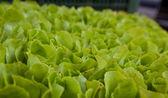 Bakgrund av sallat plantor klustret väl — Stockfoto