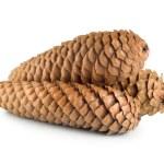 Dry pine cone isolated — Stock Photo