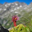 Stock Photo: Flowering Alpine plant