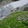 Alpine moss — Stock Photo