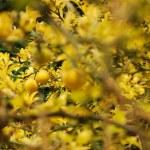 Gelber Zitronenbaum — Stockfoto