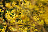 Yellow lemon tree — Stock Photo
