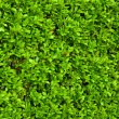 Green bushes leaves - Foto de Stock