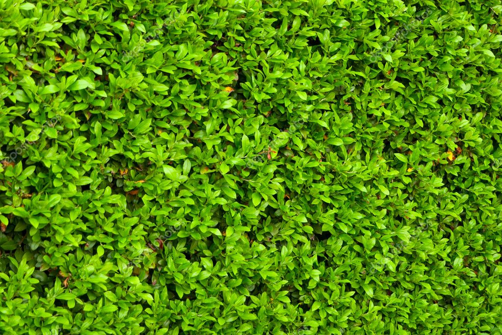 Green bushes leaves hedge background  Stock Photo #3158396