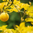 Stock Photo: Mellow lemon