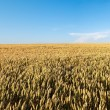 Stock Photo: Maturing grain